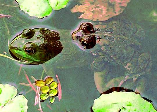 kodok jantan kawin dengan katak hijau
