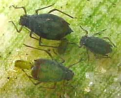 aphid giving birth