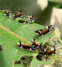 Milkweed Tussock Moth caterpillars in their 3rd instar