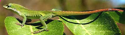 Green Anole, Anolis carolinensis, image by Hillary Mesick of Mississippi