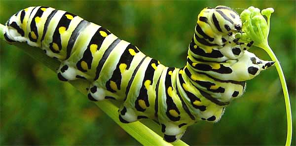 Caterpillar of Black Swallowtail Butterfly, Papiliopolyxenes ; photo