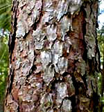 bark of Longleaf Pine, Pinus palustris, picture by Karen Wise of Kingston, Mississippi