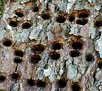 Yellow-bellied Sapsucker holes in tree trunk, picture by Karen Wise of Kingston, Mississippi
