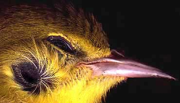 bird ear -- on an immature male Pine Warbler, Dendroica pinus