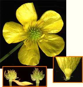 Buttercup flower anatomy