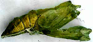 Black Swallowtail Chrysalis skin after the adult emerged