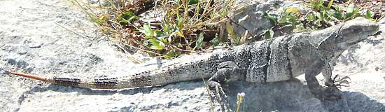 Black Iguana, Ctenosaura similis, image by Johan Seibols, taken in Mexico's Yucatan Peninsula