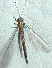 antlion adult, photo by Karen Wise of Kingston, Mississippi