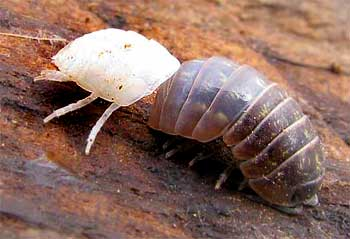 ecdysis of pill bug