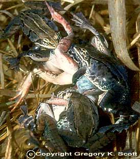 Woodfrogs selama amplexus, hak cipta gambar oleh Greg Scott