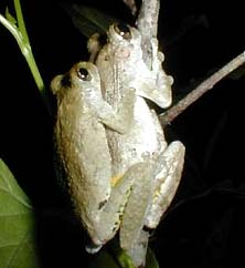 lih.  Squirrel Treefrog, Hyla squirella, foto oleh Karen Wise of Kingston, Mississippi