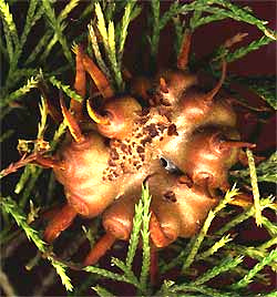 Cedar-apple rust gall