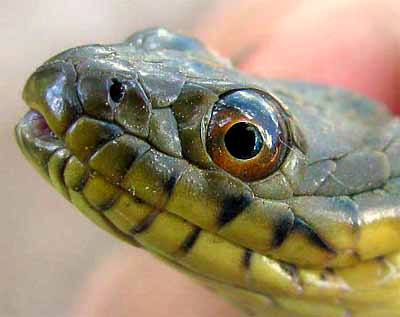 water snake showing scales on face