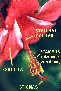 The Standard Blossom