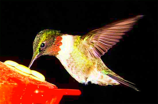 Ruby-throated Hummingbird, photo by CHARLIE ZAPOLSKI of SAUGUS MA