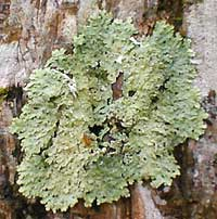 foliose lichen, picture by Karen Wise of Kingston, Mississippi