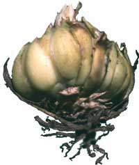 lily bulb, a kind of scaly bulb