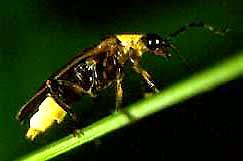 Lightning Bugs Or Fireflies