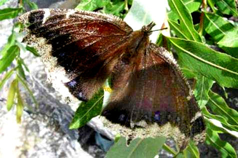 Mourning Cloak laying eggs