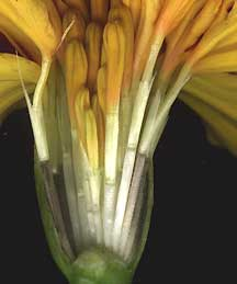 close-up of a marigold's ray and disk flowers