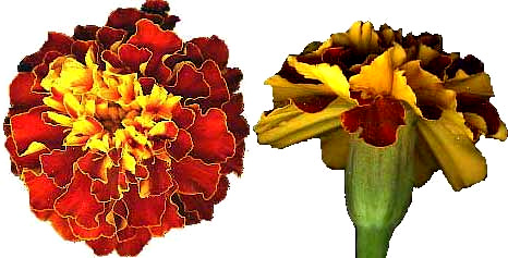 Marigold flowers french mrigold tagetes patula ccuart Image collections