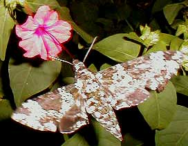 Rustic sphinx, Manduca rustica, image by Hillary Mesick of Mississippi