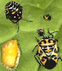 adults & nymphs of the Harlequin Bug, Murgantia histrionica