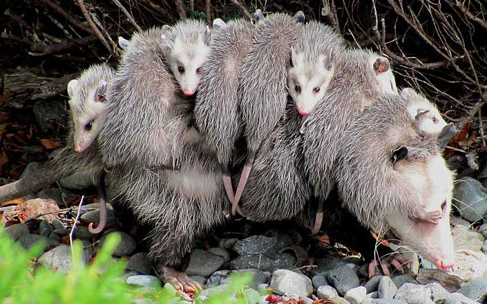 Opossum with young, photo by Specialjake