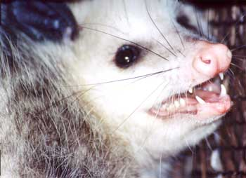 Virginia Opossum, Didelphis virginiana, image by Ken Bonnell of Mississippi