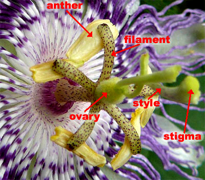 Passion-flower or Maypop, Passiflora incarnata, image by Ruth McMurtry
