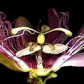 cross section of a passion-flower blossom
