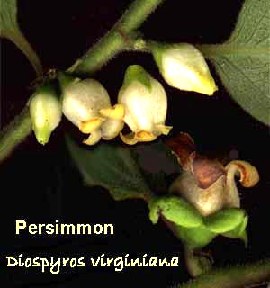 Male & female persimmon flowers, Diospyros virginiana