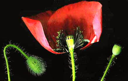 Poppy flowers poppy flower anatomy ccuart Image collections