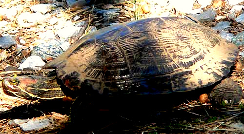 Red-eared Turtle, Chrysemys scripta, also called the Pond Slider