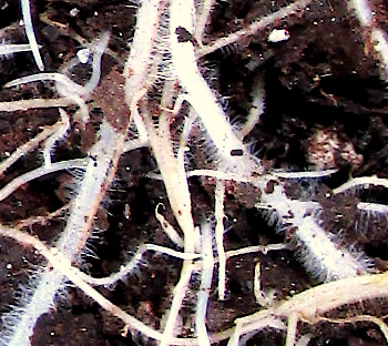 root hairs on grass roots