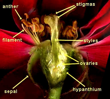 structure of a rose blossom