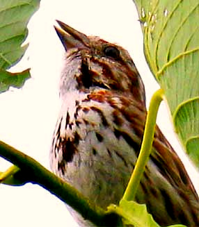 Song Sparrow, image by Bea Laporte