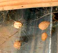 spider egg sacs