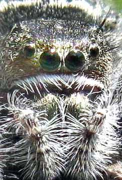 Jumping Spider, Phidippus purpuratus, photo by Bea Laporte