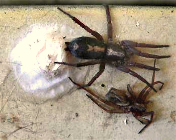 Gnaphosid spider guarding her egg sac, with discarded exoskeleton nearby