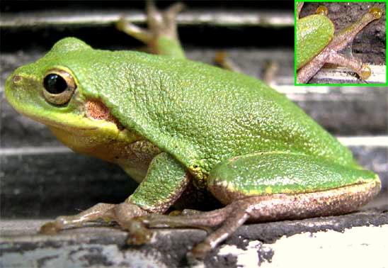 Backyard Frogs frogs