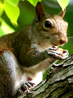 Eastern Gray Squirrel, image by Hillary Mesick of Mississippi
