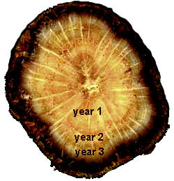 cross section of 3-year-old Black Oak branch
