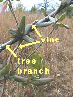 Japanese Honeysuckle vine twining around a stem