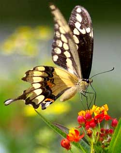 Giant Swallowtail in Mississippi, image by Kenneth Myron Bonnell