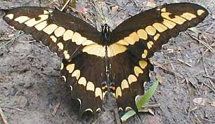 Giant Swallowtail, Heraclides cresphontes, image by Karen Wise of Kingston, Mississippi