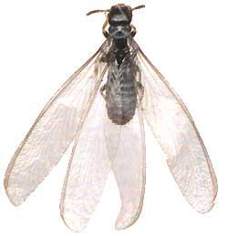 subterranean termite rhinotermitidae