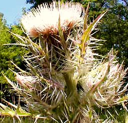 Thistle, Cirsium horridulum, photo by Karen Wise of Kingston, Mississippi