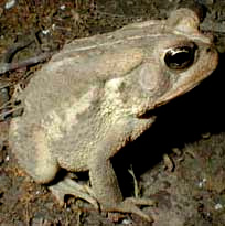 toad, image by Karen Wise of Kingston, Mississippi