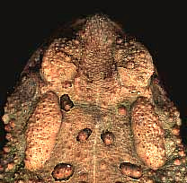 toad showing parotoid glands and warty skin